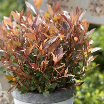 Photinia Chico