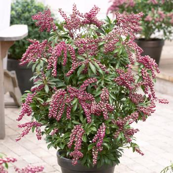 Pieris - japonica - Passion - cov