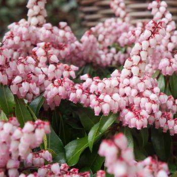 Pieris - japonica - Pink Passion - Opstal 69