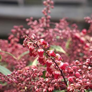 Pieris - japonica - Polar Passion - PPOBAS