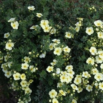 Potentilla - fruticosa - Golden Carpet - 82/81T PYL