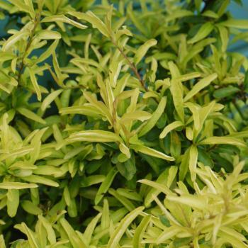 Pyracantha - hybride - Golden Paradise - Cov