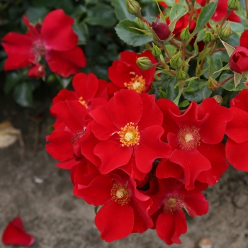 Rosa - hybride - Alexander von Humboldt - KORhumalex