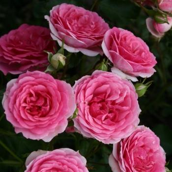 Rosa - hybride - Amica® - KORnerucas