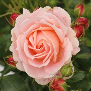 Rosa - hybride - Cremosa ® - KORploban