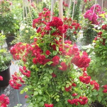 Rosa - hybride - Crimsons  - KORsilu06