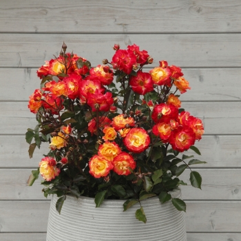 Rosa - hybride - Firebird® - KORtragoso