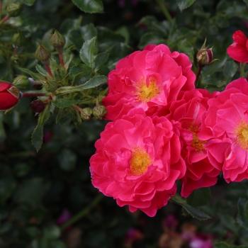 Rosa - hybride - Hotline® - KORneobig