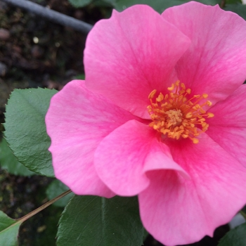 Rosa - hybride - See You® in Pink - KORhulth002