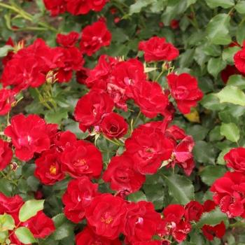 Rosa - hybride - Marondo® - KORlinolip
