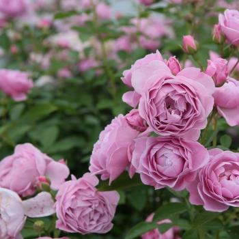 Rosa - hybride - Nautica® - KORcharblo