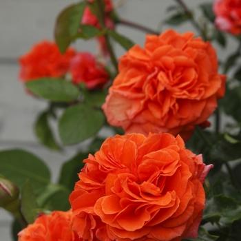 Rosa - hybride - Orangerie® - KORgeriora