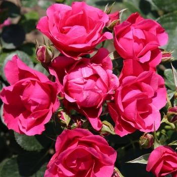 Rosa - hybride - Pink Forest Rose® - KORpiforo