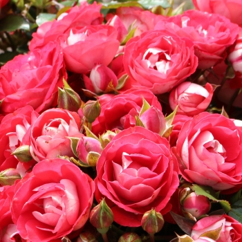 Rosa - hybride - Rosige Landdrostei - KORteidros