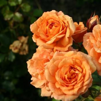 Rosa - hybride - Bentheimer Gold® - korbentgol
