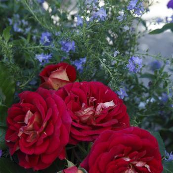 Rosa - hybride - Die sehenswerte® - Korsehendie
