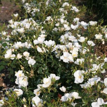 Rosa - hybride - Escimo® - Kormifari