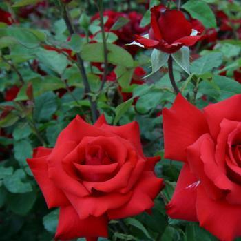 Rosa - hybride - Grande Amore® - Korcoluma