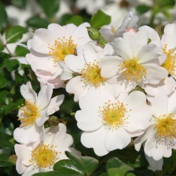 Rosa - hybride - Medeo® - Kortraste