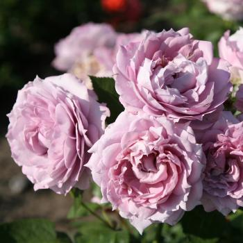 Rosa - hybride - Novalis® - Korfriedhar