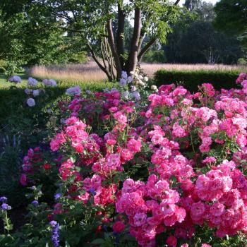 Rosa - hybride - Pink Emely® - Korselary