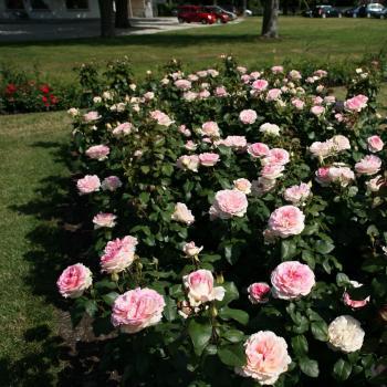 Rosa - hybride - Souvenir de Baden Baden® - Korsouba