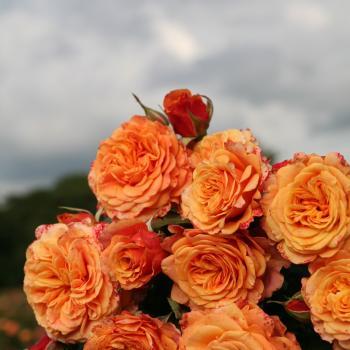 Rosa - hybride - La Villa Cotta® - Korbamflu
