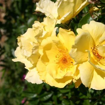Rosa - hybride - Lemon Fizz® - korfizzlem