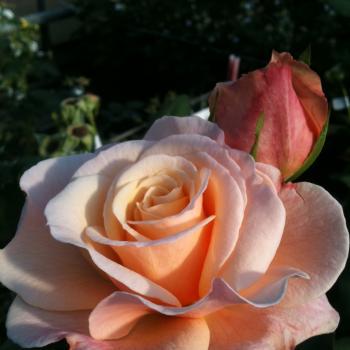 Rosa - hybride - Oh Happy Day® - Koroligeo