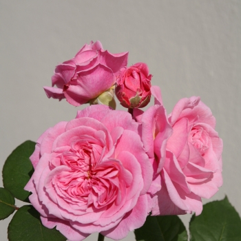 Rosa - hybride - Madame de Maintenon - Kortekcho
