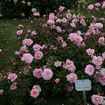 Rosa - hybride - Karine Ferri - Korgrasotra