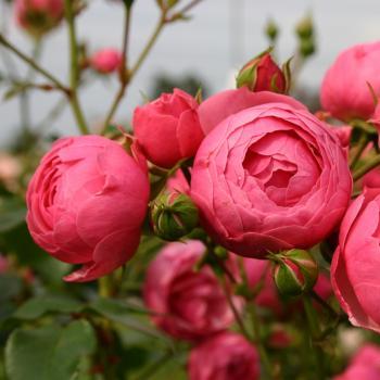 Rosa - hybride - Pomponella® - Korpompan