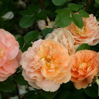 Rosa - hybride - Soeurs Tatin - korbylosang