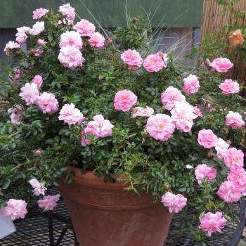 Rosa - hybride - Sweet Knirps - korzalicha