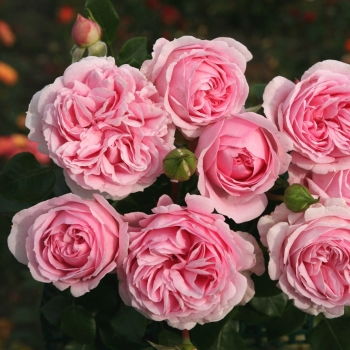 Rosa - hybride - Wellenspiel® - Korwimcres