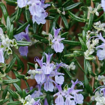 Rosmarinus - officinalis  - Blue Cascade - Lowros3