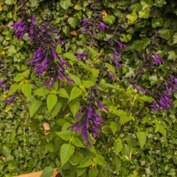 Salvia  - hybride - Amistad - Cov