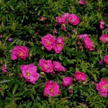 Rosa - hybride - Smart® - Uhlrutida