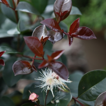 Syzygium Etna Fire