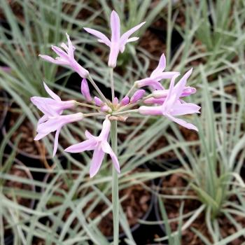 Tulbaghia Silver Lace