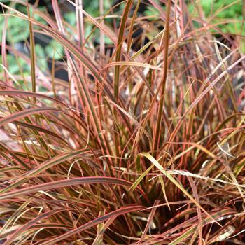 Uncinia - rubra - Everflame - Belindas Find