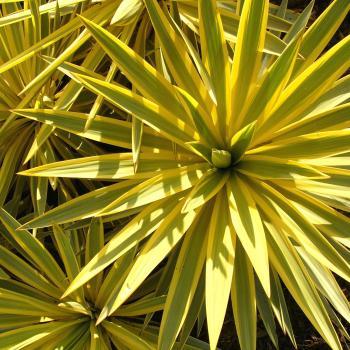 Yucca  Bright Star